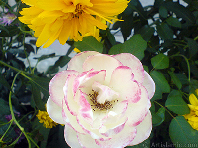 Variegated (mottled) rose photo.