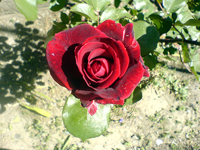 Burgundy Color rose photo.