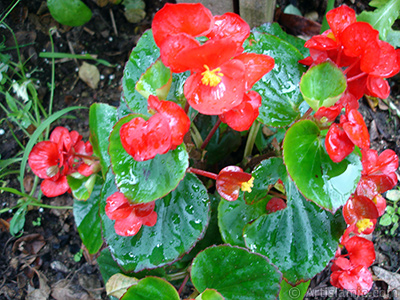 Wax Begonia -Bedding Begonia- with red flowers and green leaves.