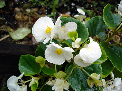 Wax Begonia -Bedding Begonia- with white flowers and green leaves.