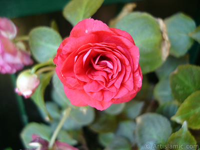 Red color Begonia Elatior flower.